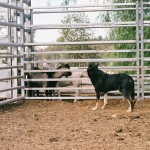 Culled Feral Goats